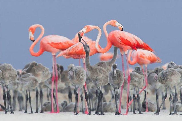 17. Pink Flamingo Feeding Their Young (Pembe Flamingolar Yavrularını Beslerken) - Alejandro Prieto Rojas, Meksika, En İyi Portre Kategorisinde Altın Ödül ve 2017 Yılı En İyi Kuş Fotoğrafçısı Ödülü