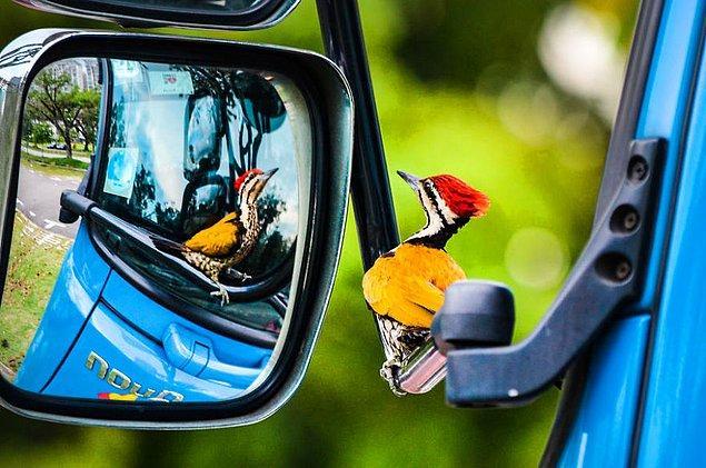18. Woodpecker In Car Mirror (Araba Aynasındaki Ağaçkakan) - Kelvin Dao, Bahçedeki Kuşlar Kategorisinde Şeref Ödülü