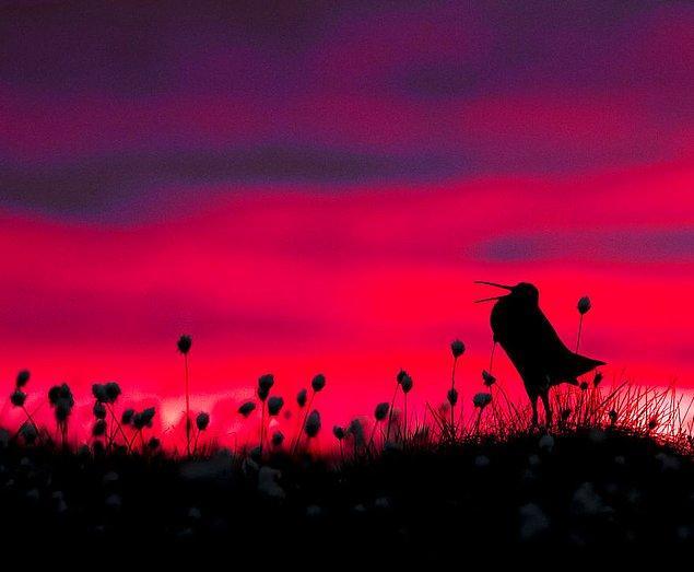 19. Great Snipe Silhouette (Büyük Su Çulluğu Silueti) - Torsten Green-Petersen, Kuş Davranışı Kategorisinde Şeref Ödülü