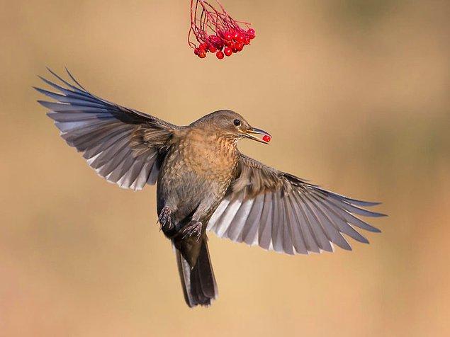 21. Blackbird Taking Berries (Karatavuk Meyveleri Alırken) - Roy Rimmer, Bahçedeki Kuşlar Kategorisinde Şeref Ödülü