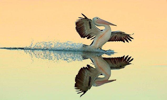 22. A Perfect Landing, Australian Pelican (Mükemmel Bir İniş, Avustralya Pelikanı) - Bret Charman, Avustralya, Uçan Kuşlar Kategorisinde Altın Ödül