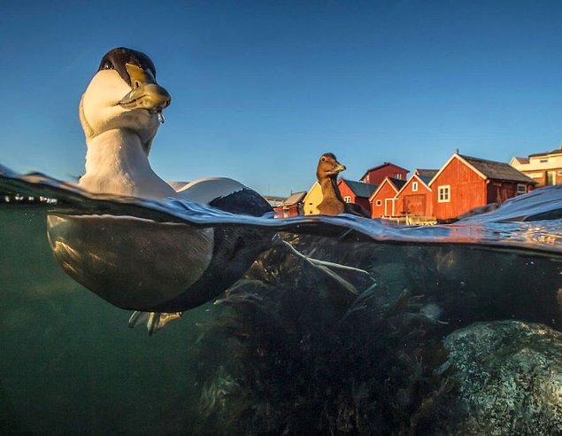 25. Swimming Eider (Yüzen Pufla Kazı) - Pål Hermansen, En İyi Portre Kategorisinde Bronz