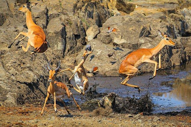 7. 📸 John Mullineux, Kruger Ulusal Parkı, Güney Afrika