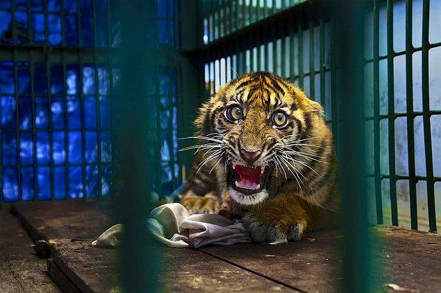 8. 📸 Steve Winter, Sumatra Adası, Endonezya