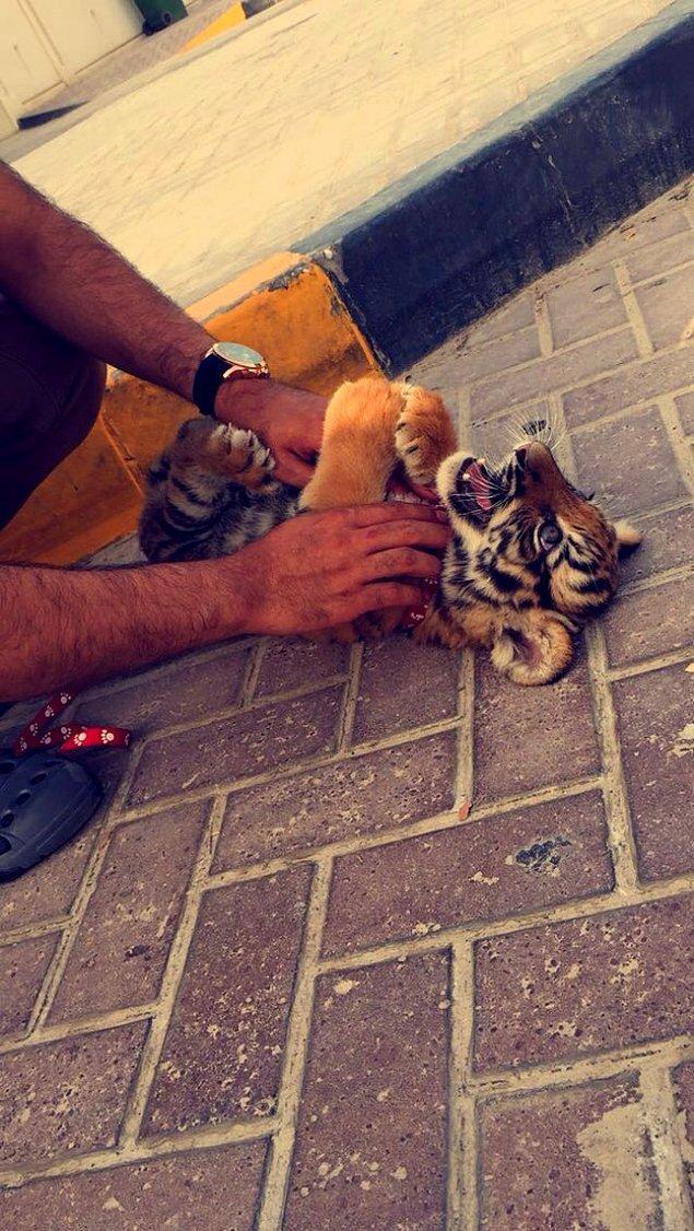4. Bizde evcil hayvan diye kedi köpek beslenirken, oralarda kaplan besleniyor işte. 😎