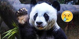 Koruma Altındaki Dünyanın En Yaşlı Pandası 37 Yaşında Hayata Veda Etti