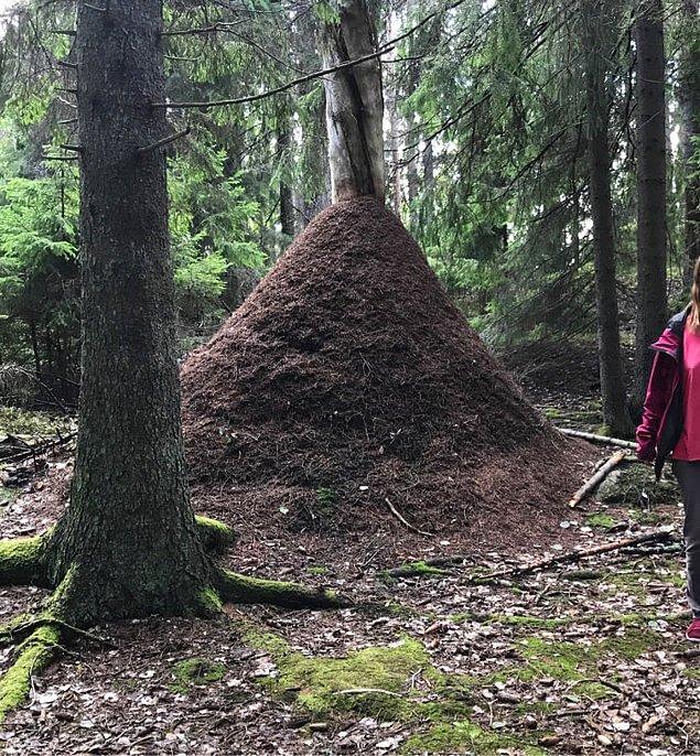 15. İsveç'te 2,2 metre yüksekliğe ulaşmış karınca yuvası.