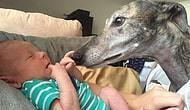 Köpek Yarışından Kurtarıldıktan Sonra, İnsan Korkusunu Bir Bebekle Yenen Tazı