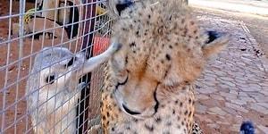Arkadaş Edinmeye Çalışan Çita Mirketler Tarafından Pek Hoş Karşılanmadı