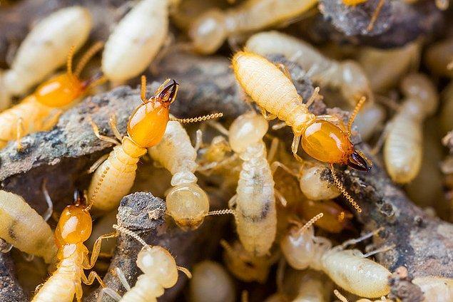 13. Dünya üzerinde en çok gaz çıkaran canlılar termitlerdir.