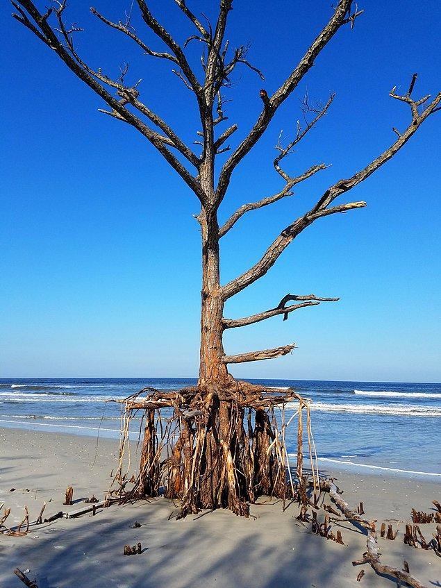 Kökleriyle ayakta kalmaya çalışan ağaç