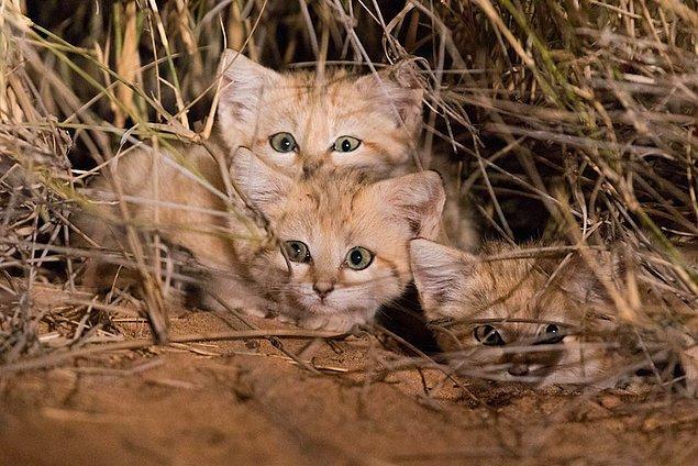 Sevimlilikleriyle göz dolduran bu kedilerin sayıları ne yazık ki insan faaliyeti nedeniyle hızla azalıyor.