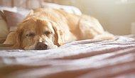 Mahkeme 'Ailenin Bir Ferdi' Dedi: İtalya'da Hasta Köpeğine Bakmak İsteyen Kadına Ücretli İzin