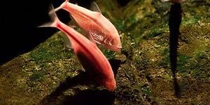 Evrim Tartışmalarıyla İlgili Her Şeyi Altüst Edebilecek Bir Olay: Kör Mağara Balıkları
