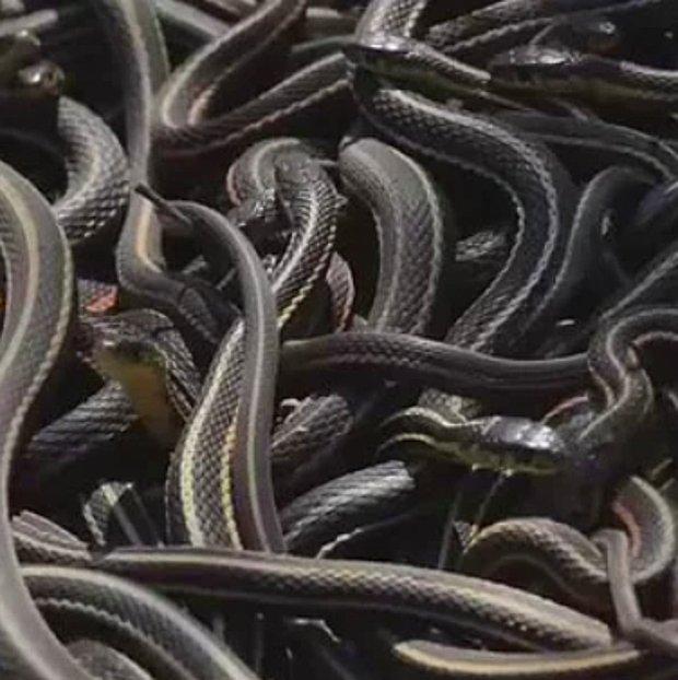 Bir ihtimal canlı çıkma şansının olduğu, yılanlarla dolu bir çukura atılmak.
