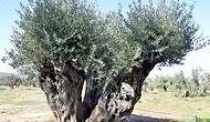 Odun Olarak Satılmak Üzereydiler: 800 ve 1200 Yıllık Ağaçlar İki Yıl Sonra Zeytin Verdi
