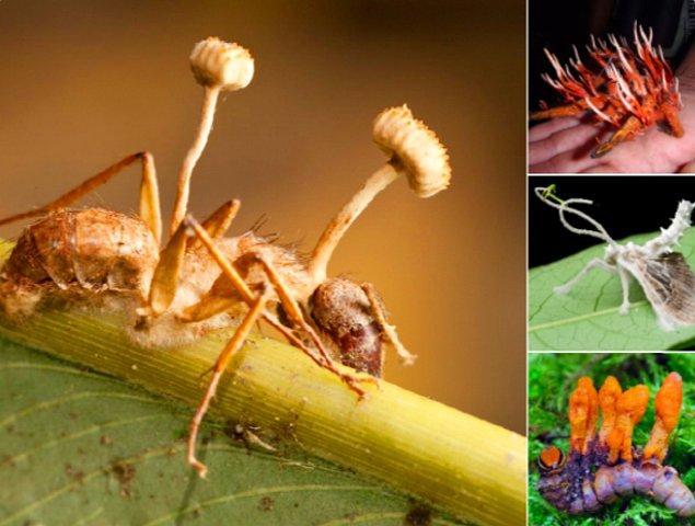 20. Kordiseps mantarlarının henüz keşfedilmemiş 400'ü aşkın türü var. Kendisi bir endoparazit; böceklerin ya da eklem bacaklıların üzerinde yaşıyor.