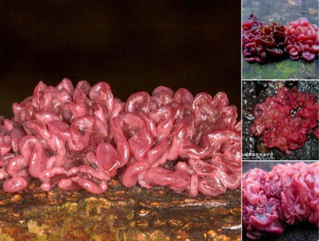 14. Ascocoryne sarcoides mantarları 😱