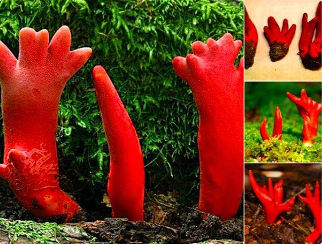 """8. Japonya topraklarında yetişen ölümcül kırmızı mantarlar, bilimsel adıyla """"Podostroma Cornu-damae."""""""