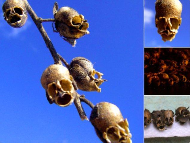 1. Aslanağzının tohum kapsülleri kuruduğunda ortaya böyle kuru kafaya benzer bir görüntü çıkıyor.