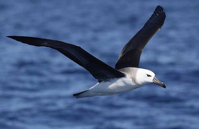 Albatros!