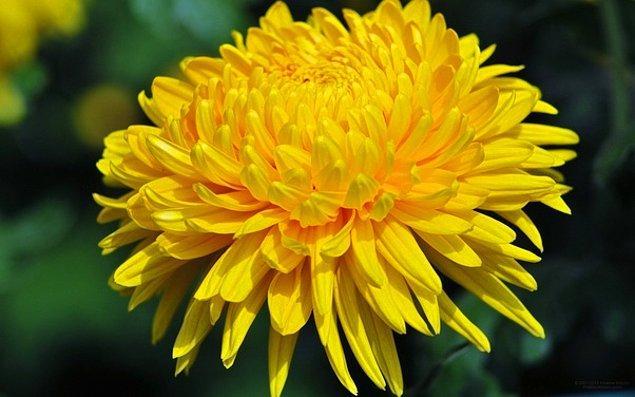 11. Kasımpatı Japonya'nın resmi sembollerinden biridir ve orada yenilebilir bir bitki olarak kabul edilir.
