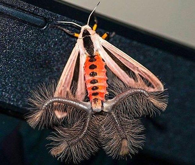 Creatonotos gangis moth, Güneydoğu Asya'da ve Avustralya'nın bazı kesimlerinde yaşıyor.