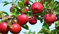 Elma Yiyen Allanır, Ağzı Dili Ballanır! Daha Çok Elma Yemeniz İçin 15 Sağlık Dolu Neden