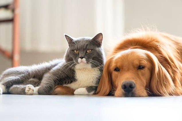 12. Son soru biraz kazık. Çikolatanın kedi ve köpeklere zehirli olmasının sebebi olan madde hangisi?