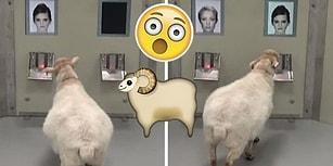Cambridge Üniversitesi'nden İlginç Deney: Koyunlar Sadece Fotoğraflarına Bakarak Ünlüleri Ayırt Edebiliyor!