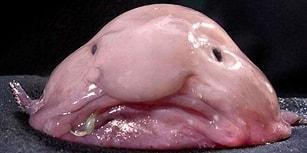 Doğayı Yine Rahat Bırakamadık: Dünyanın En Çirkin Hayvanı Olarak Bilinen Blobfishin Arkasındaki Üzücü Gerçek