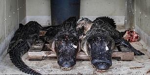 Vahşet Sezonu Sona Ererken Timsah Avının Arkasında Bıraktığı İzler Sizi Çok Üzecek