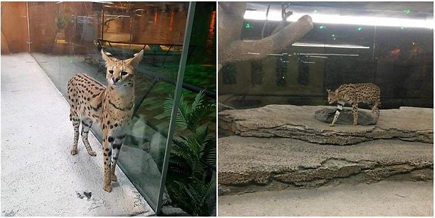 AVM'de Serval kedisinin dışında birçok vahşi hayvan da sergileniyor