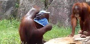 Mendilini Islatıp, Bir Güzel Sıktıktan Sonra Dede Gibi Yüzünü Silen Orangutan