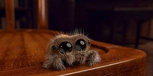 Araknafobia da Neymiş Dedirtecek Minnoş Örümcek Lucas ile Tanışın!