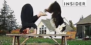 Bu Köpeğin Yapamayacağı Şey Yok! Resimden Yogaya, Müzikten İlk Yardıma Yetenekleriyle Büyüleyen Köpek