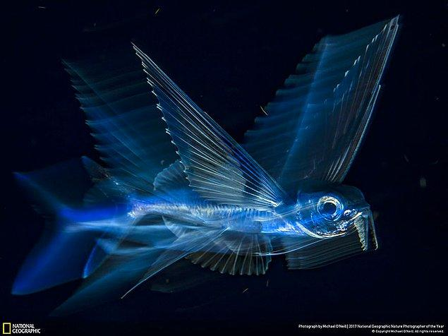 40. Üçüncülük Ödülü, Su altı: Uçan Balık - Michael O'neill