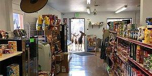 Geyikler Dükkanı Bastı! Hediyelik Eşya Dükkanında Bir Dolaşıp Sonra Eşi Dostu da Getiren Minnoş