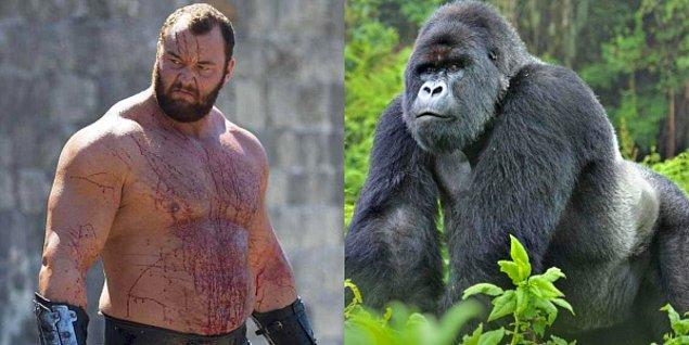 Dünyanın en güçlü insanı vs. Sıradan bir goril
