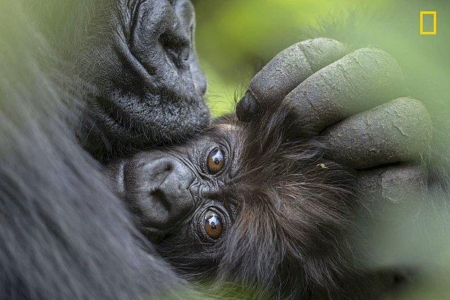 10. Anne dağ gorili ve 3 aylık bebeğinin sıcacık anları...