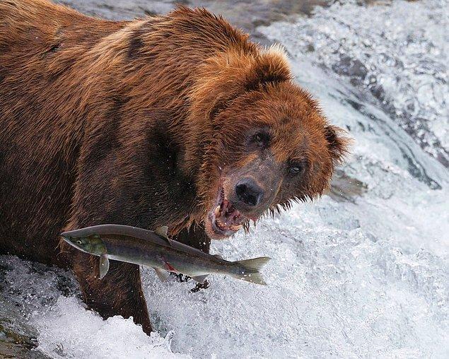 13. Alaska'da zıplayan somona saldırmak üzere bir boz ayı.