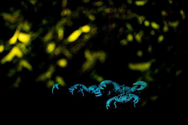 20. Ultraviyole ışığın altında parlayan dev orman akrepleri.