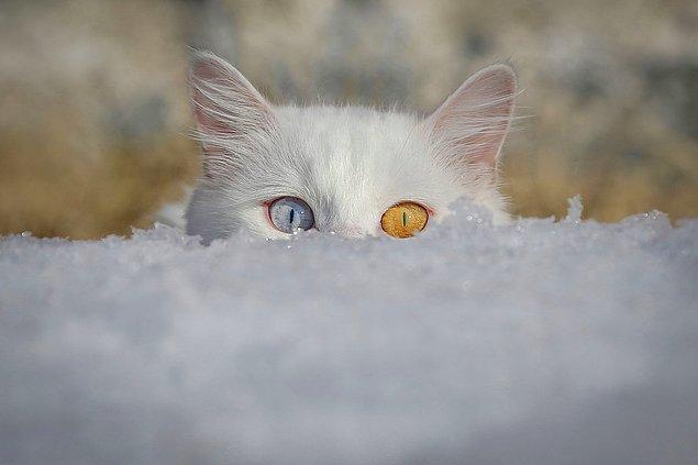 3. Van kedilerine rakip. 📷 Özkan Bilgin