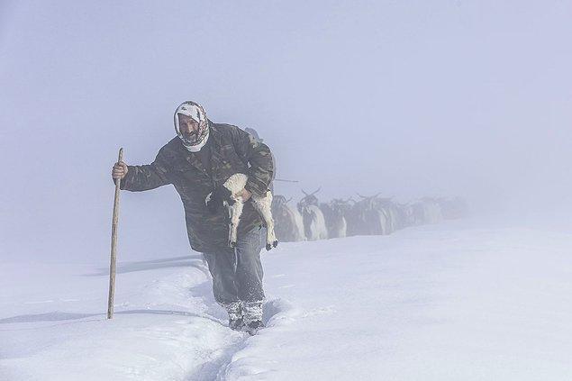 12. Koyunların yolculuğu. 📷 Ali İhsan Öztürk