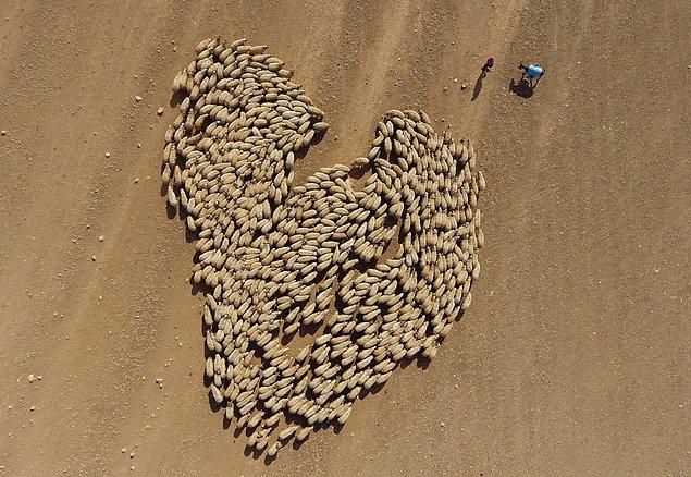 17. Şanlıurfa'da hayvancılık. 📷 Halil Fidan