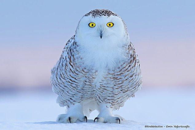Kutup soğuklarında yaşayan kar baykuşu, Kanada