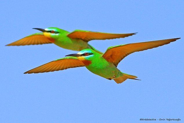Yeşil arıkuşu, Şanlıurfa