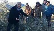 Amasra'da Termik Santral İçin Kesilen Zeytin Ağaçlarına Halkın İsyanı