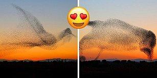 Sığırcık Sürüsünü Çekerken Tesadüfen Milyonda Bir Denk Gelebilecek Bu Fotoğrafları Çekmeyi Başaran Fotoğrafçı!