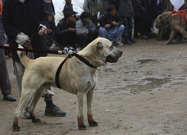 📌 Hayvanları birbirlerine zarar verecek şekilde dövüştürenler 2 aydan 2 yıla kadar hapisle cezalandırılacak.